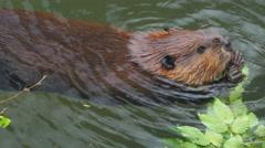 Beaver eat leaves ash Stock Footage