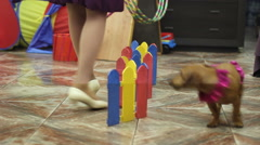 Dachshund jumping over obstacles Stock Footage