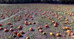 Aerial Sunny Pumpkin Patch Orange Farm Field Stock Footage