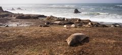 Elephant Seal Wild Mammal Lays Resting Pacific Ocean SeaShore Stock Photos