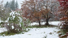 Hawthorn tree with red leaves under snowfall at late Autumn and early Winter Stock Footage