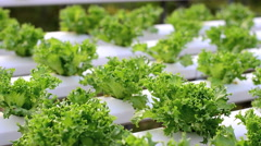 Hydroponic vegetables growing in greenhouse, Stock Footage
