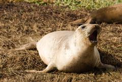Elephant Seal Wild Mammal Barks Pacific Ocean SeaShore Stock Photos
