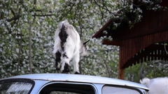 Goat kids who play on the roof of a car abandoned in an apple orchard in bloo Stock Footage