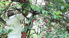 Man has climbed with ladder in sour cherry and red fruit reap Stock Footage