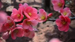 Japanese quince flowers touched by the warm winds of spring Stock Footage