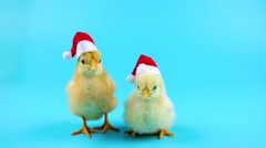Two little cute young roosters, symbol of 2017, according to Chinese calendar Stock Footage