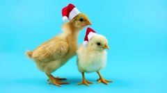 Two gold young roosters, one of them opens mouth, 2017 New Year concept Stock Footage