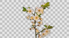 Wild plum flower blossoming timelapse isolated Stock Footage