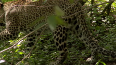Leopard (Panthera pardus) walking in the forest shades, eating some grasses. Arkistovideo