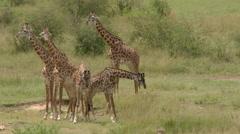 Giraffe  (Giraffa camelopardalis giraffa ) young males fighting, female calm Stock Footage