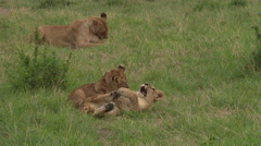 African Lion (Panthera leo) cubs playing with each other, Mother is lying in Stock Footage