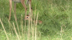 Impala (Aepyceros) with her just born fawn, which is going to lie down, to hide Stock Footage