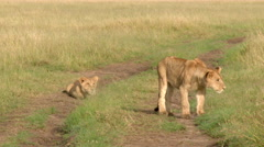 African lion (Panthera leo) juveniles playing Stock Footage