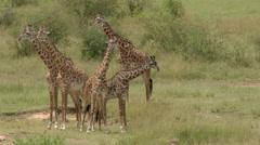 Giraffe  (Giraffa camelopardalis giraffa ) young males fighting while others Stock Footage