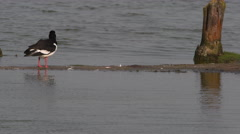 Oystercatcher (Haematopus ostralegus)  cleaning his feathers while standing on Stock Footage