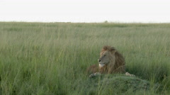 African Lion (Panthera leo) male relaxing on the plains Stock Footage