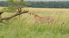 Cheetah (Acinonyx jubatus) chewing on a piece of wood and jumps on a dead Stock Footage