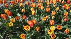 Tulip fields in Holland,  dolly shot over red and yellow  tulips. Looking into Stock Footage