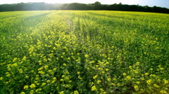 Aerial 4K low flight over a field of colza. The sun shines. Lateral move. Stock Footage