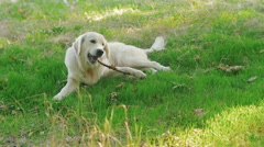 Cute retriever labrador dog gnawing wooden stick in park Stock Footage