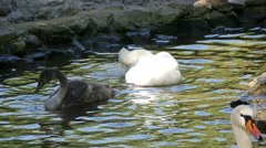 White and black swans  in the lake, slow motion 1 Stock Footage