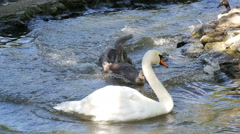 White and black swans  in the lake, slow motion 2 Stock Footage