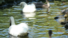 Beautiful swans swimming in the lake, slow motion 5 Stock Footage