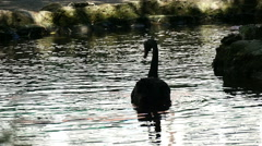 Black swan swimming  in the lake, slow motion 1 Stock Footage