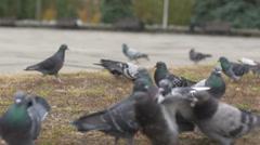 Pigeons feeding itself on a street pavement Stock Footage