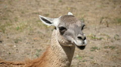 Small lama in a field, slow motion 2 Stock Footage