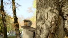 Red squirrel on the tree eating nuts or seeds. One beatuful shiny day in autumn Stock Footage