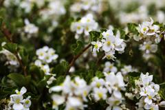 Beautiful white ornamental plant in the garden Stock Photos