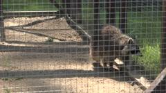 Poor raccoon animal walk in captivity cage Stock Footage