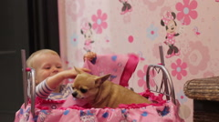 Funny girl covered with a blanket chihuahua dog and laughs Stock Footage