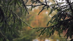 The spruce branches in the rain. Stock Footage
