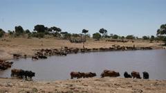 Maasai herdsmen bring their cattle to water near masai mara, kenya Stock Footage