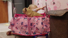 Two years girl plays with chihuahua in doll bed Arkistovideo