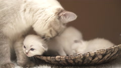 Mummy and baby cats Stock Footage