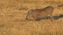A warthog kneels to feed in masai mara game reserve, kenya Stock Footage