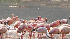 Flamingos bathing at lake bogoria, kenya Stock Footage