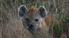 Close up of the face of a hyena in masai mara, kenya Stock Footage