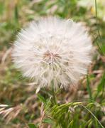 Big fluffy dandelion on nature Stock Photos