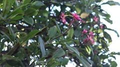 Plumeria on the plumeria tree, frangipani tropical flowers. Bali, Indonesia Stock Footage