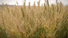 Rack Focus in Wheat Field for Static Farm Background Stock Footage