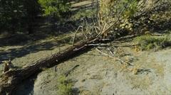 Slow aerial drift revealing a fallen pine tree. Stock Footage