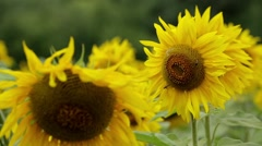 Bee Working on Sunflower Stock Footage