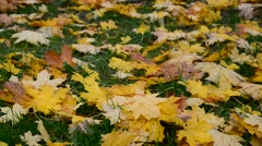 Yellow maple leaf lying on green grass in autumn Stock Footage