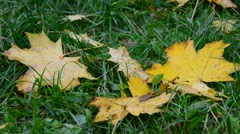 Wet yellow maple leaf lying on green grass in autumn Stock Footage