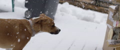 Physically disable dog limping in snow Stock Footage